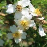 Wild/ species rose/ Fuji-Ibara フジイバラ 花の様子