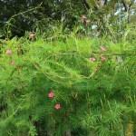 Cypress Vine/ ルコウソウ 花の咲いている様子