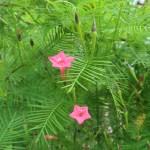Cypress Vine/ ルコウソウ 花の様子