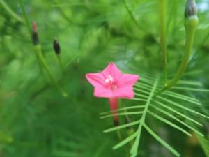Cypress Vine/ ルコウソウ 花の姿