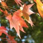 Maple/ カエデ 紅葉した葉