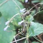 Rabdosia effusa/ セキヤノアキチョウジ 花の咲いている様子