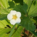 Wild strawberry/ ワイルドストロベリー 花の姿