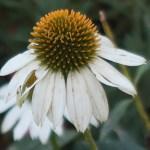 Coneflowers/ エキナセア 白色のエキナセア 花の姿