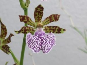 ジゴペタラム Zygopetalum mackayi 花の姿
