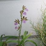 ジゴペタラム Zygopetalum mackayi 花の咲いている様子