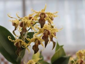 Dendrobium/ デンドロビウム Den. alexandrae