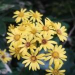 Leopard plant/ ツワブキ 花の様子