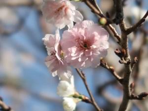 Cherry var. Kobuku zakura/ コブクザクラ 花の様子