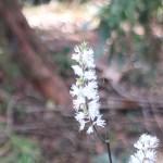 Bugbane サラシナショウマ 花の様子