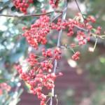 Scarlet firethorn/ トキワサンザシ 実のなっている様子