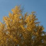 Gingko イチョウ 黄色に色づいた銀杏