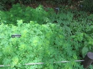Boenninghausenia albiflora/ マツカゼソウ 草の様子