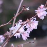 Cherry, October sakura ジュウガツサクラ 花の様子