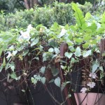 Bengal clockvine/ ベンガルヤハズズカズラ 花の咲いている様子