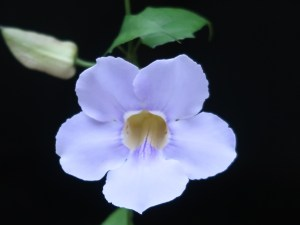 Bengal clockvine/ ベンガルヤハズズカズラ 花の姿