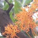 Yellow Saraca/ キバナサラカ 花の姿