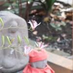 Toadlily/ ホトトギス 花の様子