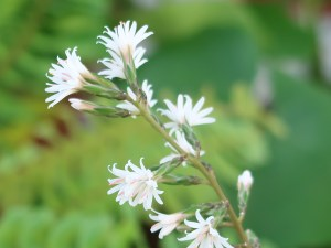 Ainsliaea macroclinidioides var. okinawensis/ オキナワハグマ 花の姿