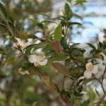 Camellia lutchuensis ヒメサザンカ 花の咲いている様子