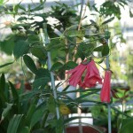 Chilean bellflower / ツバキカズラ 花の様子
