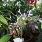 Griffinia hyacinthina/ グリフィアナ ヒアシンシナ 花の咲いている様子