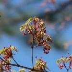 Japanese maple/ イロハモミジ 花の様子