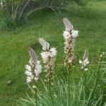 Asphodelus albus/ White asphodel/ Asfodelo Figure of flower