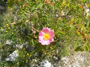 Rosa canina andegavensis/ Anjou Rose/ ロサ・カニーナ・アンデガヴェンシス Figure of flower