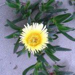 Mesembryanthemum crystallinum/ Ice plant/ アイスプラント 花の様子