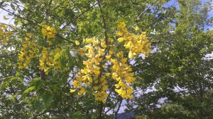 Laburnum anagyroides/ Golden chain/Maggiociondolo, undergrown tree
