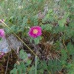 Rosa gallica/ Gallic rose/ ロサ・ガリカ Figure of flowers
