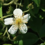 Wild/ species rose/ Musk Rose ロサ モスカータ 花の姿