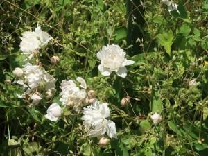 Wild/ species rose/ Three Leaf Rose/ ロサ・アネモネフローラ 花の咲いている様子