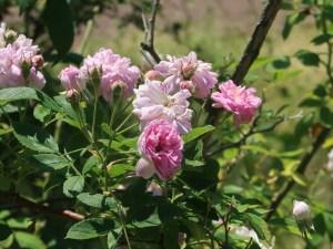 Old garden rose/ Rambler/ Seven sisters rose セブン シスターズ ローズ 花の様子