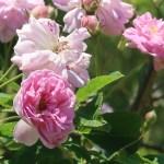 Old garden rose/ Rambler/ Seven sisters rose セブン シスターズ ローズ