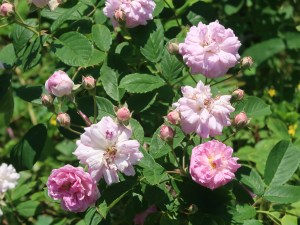 Old garden rose/ Rambler/ Seven sisters rose セブン シスターズ ローズ 花の咲いている様子