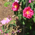 Wild/ species rose/ Red Gallica/ ロサ・ガリカ・オフィキナリス 花の咲いている様子