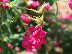 Old garden rose/ M Moss モス/ Henri Martin アンリ・マルタン 花の様子