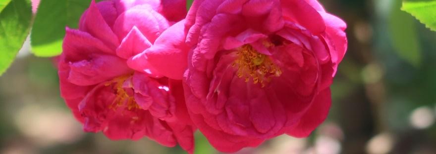 Old garden rose/ M Moss モス/ Henri Martin アンリ・マルタン