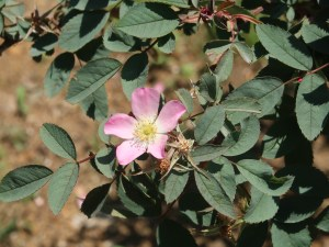 Wild/ species rose/ Rosa glauca ロサ・グラウカ 花の咲いている様子