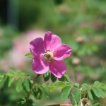 Wild/ species rose/ Rosa pendulina oxyodon ロサ・ペンデュリーナ・オキシオードン 花の様子