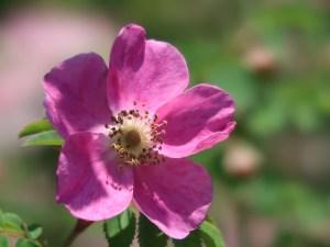 Wild/ species rose/ Rosa pendulina oxyodon ロサ・ペンデュリーナ・オキシオードン 花の姿