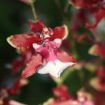 Oncidium オンシジューム Onc. Sweet Fragrance 花の姿
