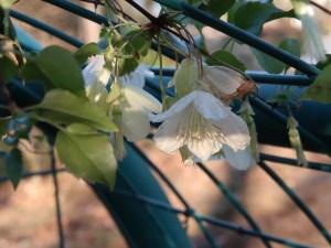Clematis/ クレマチス ジングルベル 冬に咲くベル型の品種