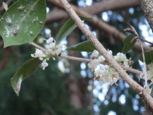 Holly osmanthus/ ヒイラギ 花の咲いている様子