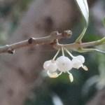 Holly osmanthus/ ヒイラギ 花の姿
