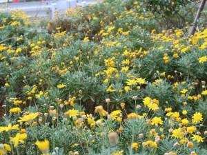 Gray-leaf euryops / ユリオプスデージー 花の咲いている様子