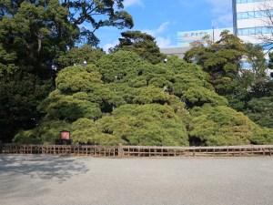 Pine マツ 黒松 三百年松