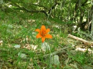 Orange lily/ Lilium croceum/ Lilium bulbiferum/ Giglio rosso, o di San Giovanni. At the edge of